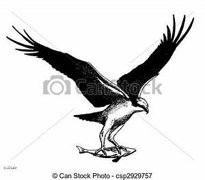 Stock Illustrations of Osprey - Pandion haliaetus with ...