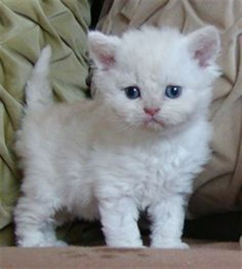 cat breeds that don t shed the gallery for gt cat breeds that dont shed