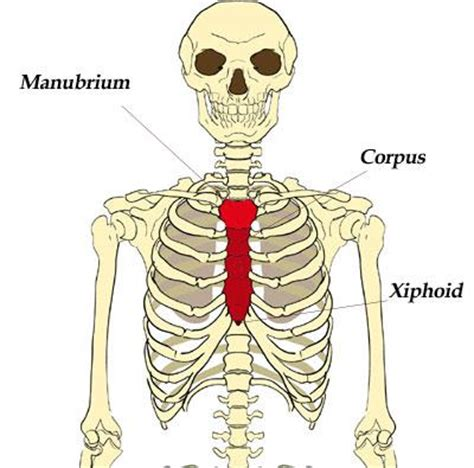 combining form for socket of a joint meat and bones chapter 3 medical terminology 1 with