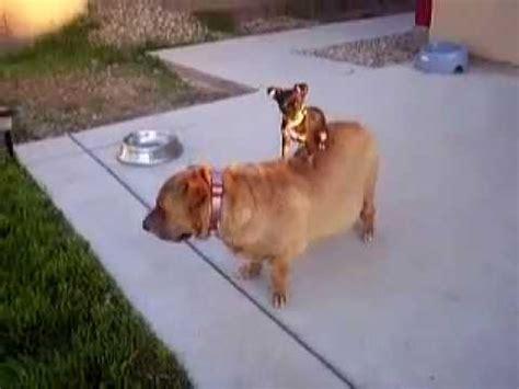 chihuahua riding shar pei mix youtube