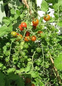 Pferdemist Für Tomaten : tomaten im garten tomaten im garten tomaten in den garten pflanzen tomaten pflanzen tipps ~ Watch28wear.com Haus und Dekorationen