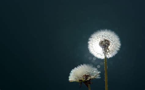 dandelion hd wallpaper background image  id