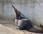 Giant anteater sticking his tongue out ...
