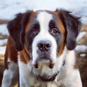 St Saint Bernard Dog
