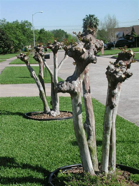 prune crapemyrtles  good earth garden center