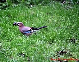 Elster Vogel Vertreiben : foto elster bei der futtersuche im dezember outdoor bilder ~ Lizthompson.info Haus und Dekorationen