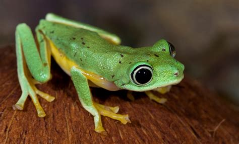 What Does A Barking Tree Frog Eat Beatiful Tree