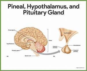 Endocrine System Anatomy And Physiology