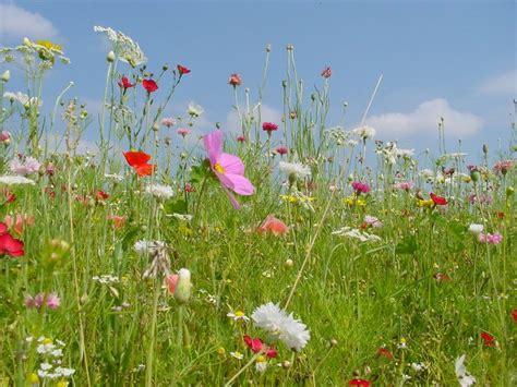 wildblumen lexikon mit bildern pin java wal auf blumenwiese blumen wiese blumenwiese und wiese