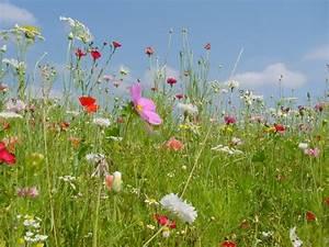 Wiese Mit Blumen : pin von java wal auf blumenwiese blumen wiese ~ Watch28wear.com Haus und Dekorationen