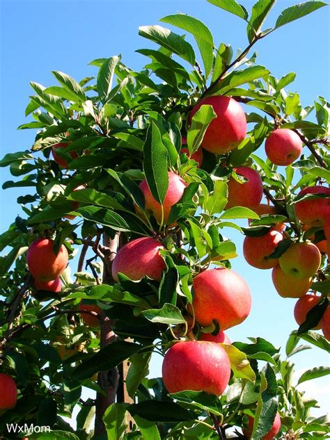fruit trees apple tree fruiting why an apple tree does not bear fruit