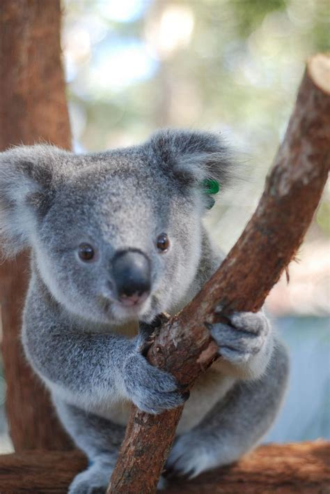 25+ Best Ideas About Oso Koala On Pinterest  Osos Panda, Pandas And Cute Bear