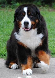 Bernese Mountain Dog Info, Temperament, Puppies, Training ...