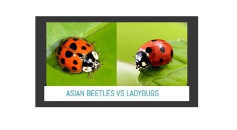 ladybug vs asian beetle asian lady beetle vs ladybugs easiest way to identify both