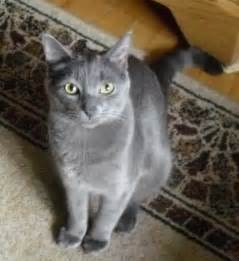 blue gray cat blue gray cat