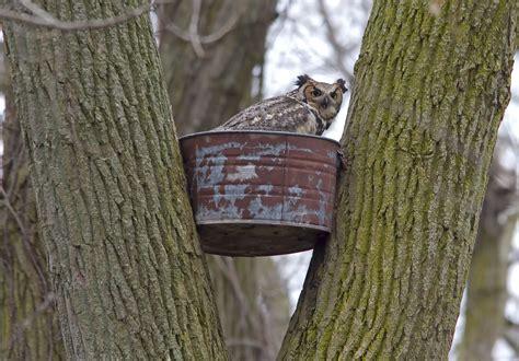 great horned owl nesting box images