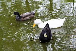 How To Take Care Of Ducks 9 Steps With Pictures Wikihow
