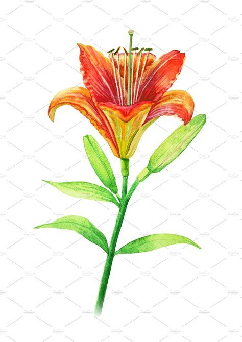 orange lily flower   stalk watercolor illustration