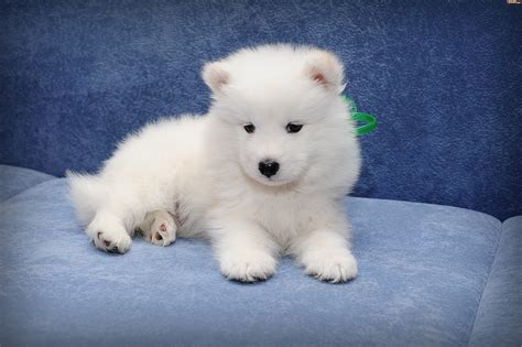 Cute White Puppies Wallpaper Pies Szczeniak Samojed