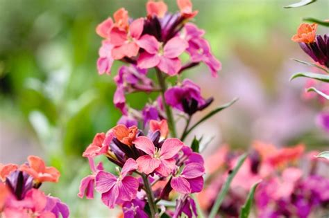 wallflowers brightest gardensillustrated sharon pearson flowers wallflower planting jacket