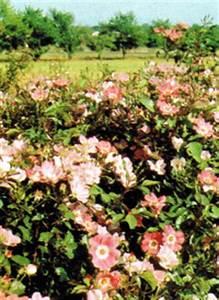 Beste Zeit Zum Tomaten Pflanzen : rosen pflanzen rosen richtig pflanzen gartentr ume rosen ~ Lizthompson.info Haus und Dekorationen