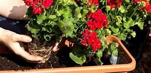 Balkonblumen Richtig Pflanzen : balkonblumen tipps zur planzung und pflege ~ Frokenaadalensverden.com Haus und Dekorationen