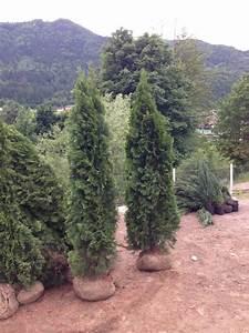 Thuja Hecke Schneiden Doch Wieviel : zypresse thuja smaragd 220 240cm sonderpreis ~ Lizthompson.info Haus und Dekorationen