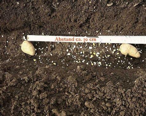 kartoffeln pflanzen abstand und tiefe pflanzen f 252 r nassen boden