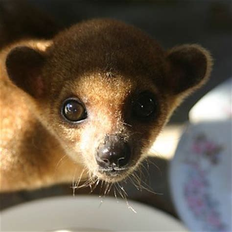 kinkajou pet 8 pets you don t want to bring home pet health center everyday health