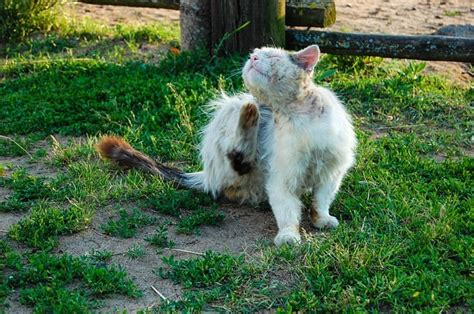 milben bei katzen behandeln hausmittel gegen katzenmilben