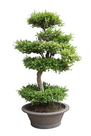 How To Start Nursery Plant Business by How To Start A Bonsai Business Profitable Plants Digest