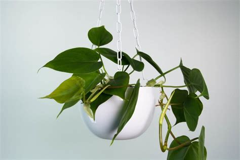 heartleaf philodendron indoor house plants foliage plants