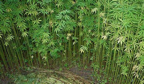 Image result for hemp