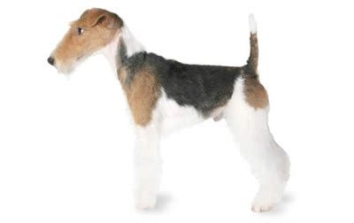 small dog breeds list a to z complete with pictures