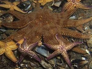 Etoile De Mer Dofus : best 25 starfish ideas on pinterest beautiful sea creatures animals sea and underwater life ~ Medecine-chirurgie-esthetiques.com Avis de Voitures