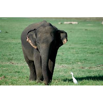 Asian Elephant - Pictures Diet Breeding Life Cycle