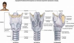 First known larynx diagram from human anatomy laboratory ...