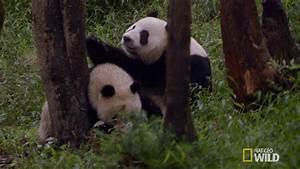 The Wild Hug : panda hug gif by nat geo wild find share on giphy ~ Eleganceandgraceweddings.com Haus und Dekorationen