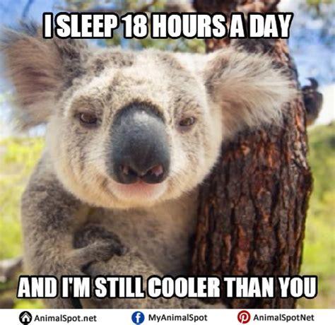 Meme Bear - koala memes