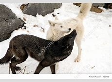 Wildlife Animals Timber Wolves Stock Image I1234425 at