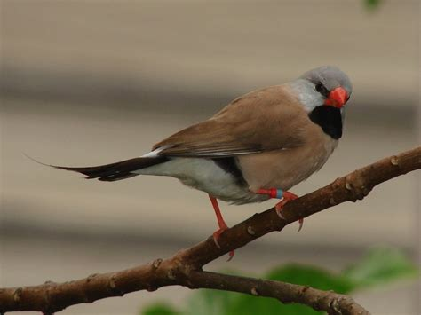 17 best images about shafttail finch on pinterest a tree