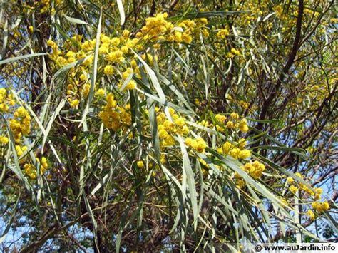 mimosa des quatre saisons acacia retinodes conseils de