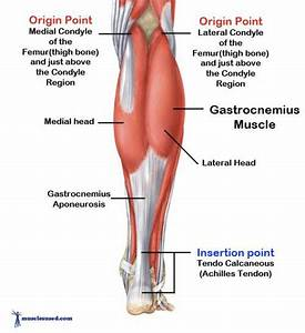 Anatomy  U0026gt  Lopez  U0026gt  Flashcards  U0026gt  Muscular System And Levers