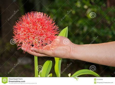 flowers that bloom every year football lily royalty free stock photos image 31494638