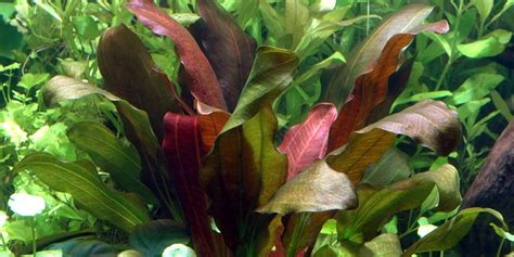 Was Ist Eine Solitärpflanze by Echinodorus Barthii Tropica Aquarium Plants