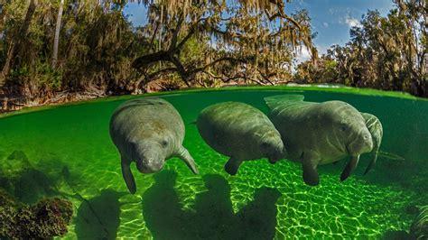 Manatees In Blue Spring State Park Florida Usa [bing
