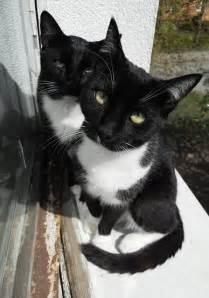 cat tuxedo the tuxedo cat cat breeds encyclopedia
