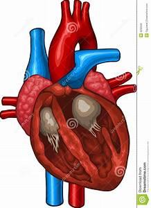 Human Heart Stock Vector  Illustration Of Chest  Anatomy