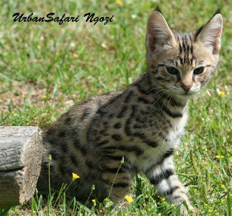 Savannah Cat Photo Safari :: Urban Safari Cattery