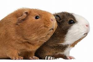 Introduction to Guinea Pig Breeds